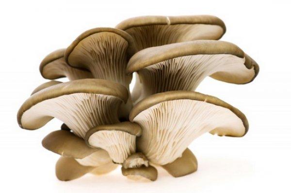 Полное описание грибов вешенок
