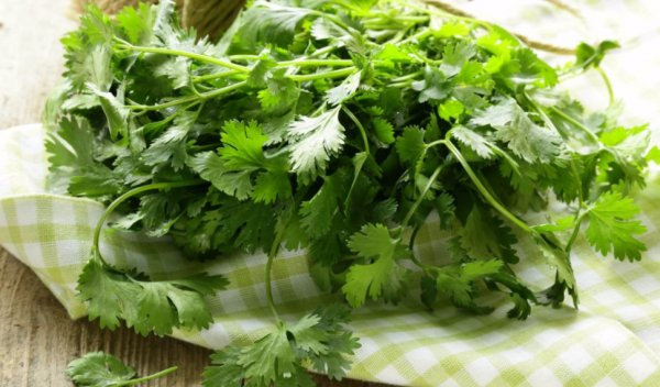 Польза семян и пряной зелени кинзы