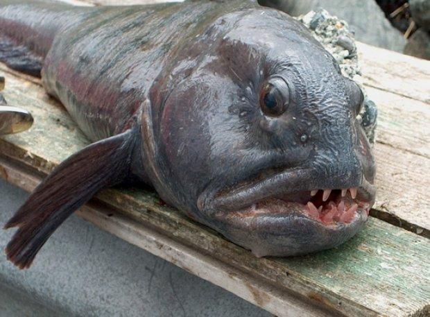 Рыба зубатка что это за рыба Польза и вред как вкусно приготовить зубатку 4 рецепта