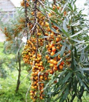 Листья облепихи: полезные свойства и вред