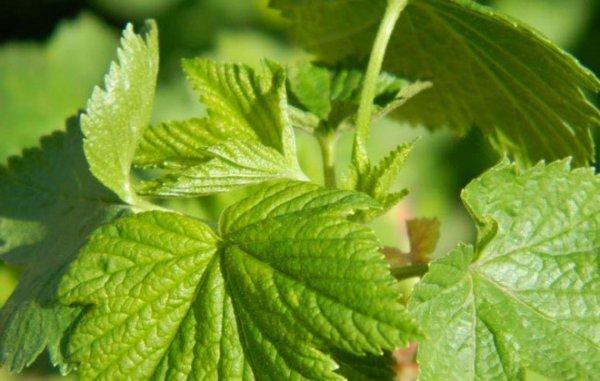 Листья ежевики лечебные свойства