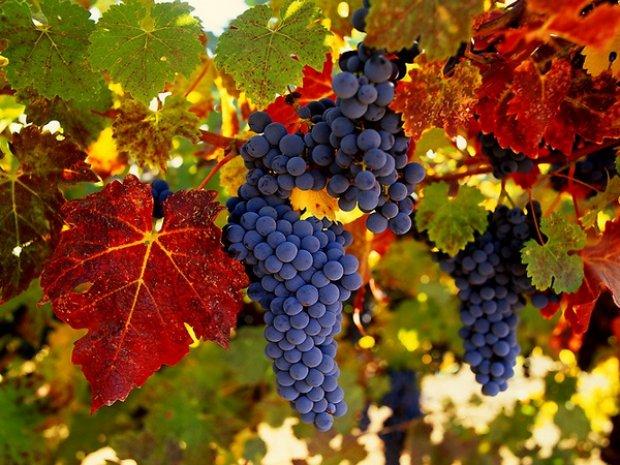 Виноград  польза и вред для организма народные рецепты