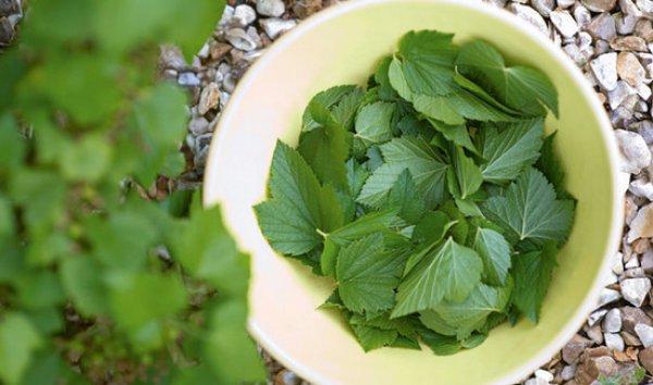 Листья малины - полезные свойства и противопоказания, применение в народной медицине