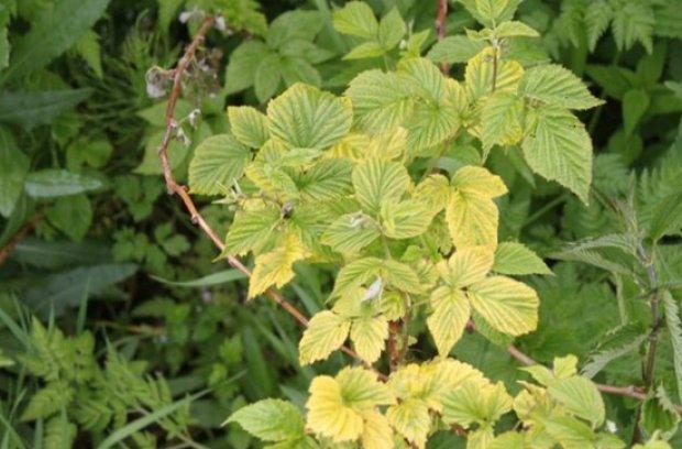 Листья смородины полезные свойства и противопоказания Смородина