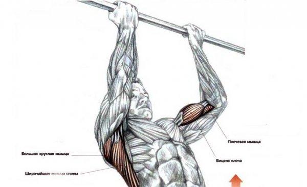 вот виды подтягиваний группа мышц в картинках показала практика