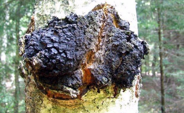 Березовый гриб