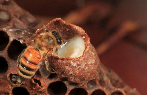 Уникальность пчелиного маточного молочка и его лечебные свойства